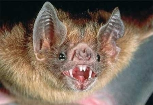 See the Deadly Vampire Bats Feeding on Human Bloods Leaving Many People in Danger (Photos)